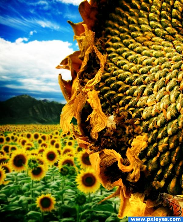 Sunflower seeds4a660aba392bb